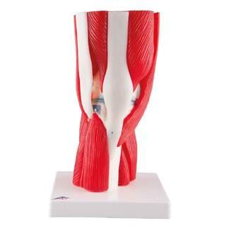 Muskel knæ model i 12 dele