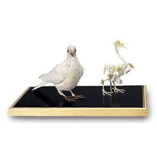 DUV Knogler og udstoppet due (Columba palumbus)