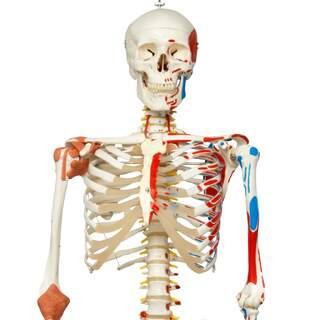 Skelettemodel med bevægelig rygsøjle, rygmarvsnervbånd osv.