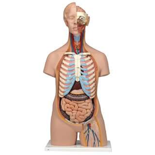 Detaljeret sexløs torso-model med 15 aftagelige dele (detaljeret hjerne og åben ryg)