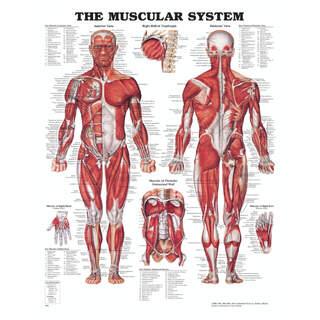 Anatomi plakater - Muskler med hård plast og huller