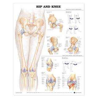 Anatomi plakat - Hofte / knæ