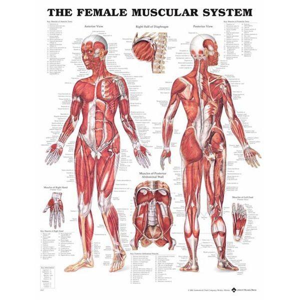 kvinde muskel